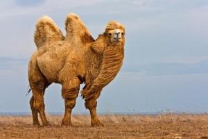 Что необходимо знать, перед тем как купить одеяло из верблюжьей шерсти?