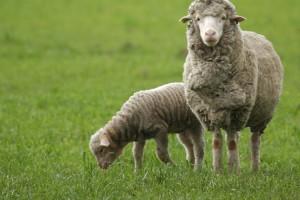 Постельные принадлежности из овечьей шерсти