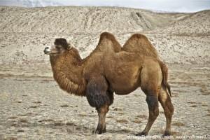 Обзор полезных свойств верблюжьего одеяла
