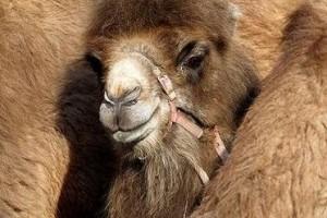 Верблюжья шерсть и ее лечебные свойства